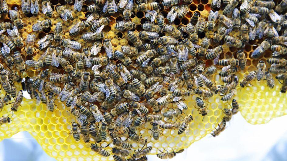 Derzeit leben rund 25.000 Bienen in den fünf Völkern. Wenn sich alles gut entwickelt, werden es im nächsten Jahr zehnmal so viele sein.